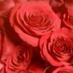 Dolgeville Flowers - ROSE PETALS FLORIST